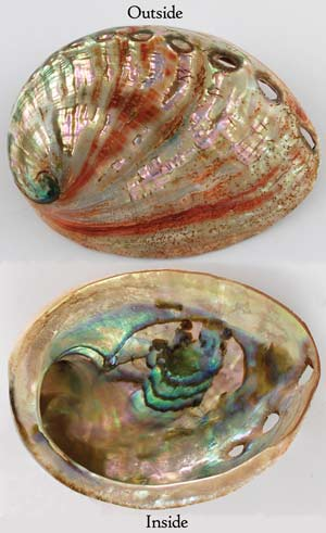 Red Abalone Shell